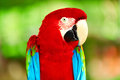 Birds animals red scarlet macaw parrot travel tourism thail closeup portrait of bright colorful green winged sitting on branch to Stock Image