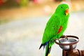 Birds, Animals. Solomon Island Eclectus Parrot. Travel, Tourism. Royalty Free Stock Photo