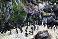 Birds at Cape St. Mary's Bird Sanctuary Stock Photos