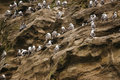 Birds colony of nesting on the cliffs tubul wetland chile Royalty Free Stock Image