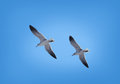 Birds couple of seagulls flying on blue sky Royalty Free Stock Photography