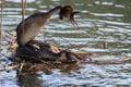 Birds coupling couple of on a lake Royalty Free Stock Photos