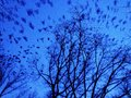 Birds at dusk flying from trees Stock Image