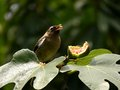 Birds eat fruit in green leaves Stock Images