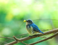 Birds eating fruit buff bellied flowerpecker Royalty Free Stock Photo