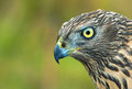 Birds of europe northern goshawk accipiter gentilis Royalty Free Stock Photos