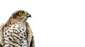 Birds of Europe - Sparrow-hawk Royalty Free Stock Images
