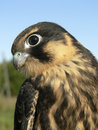 Birds of Europe and World - hobby falcon Royalty Free Stock Images