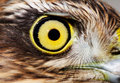 Birds of Europe and World - Sparrow-hawk Royalty Free Stock Images