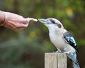 Birds hand feeding a wild kookaburra in the bush australia Stock Photos