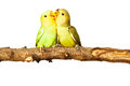 Birds love on isolated background Stock Photos