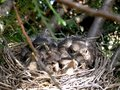 Birds in nest Stock Images