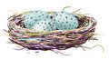 Birds nest with robin eggs drawn illustrators brushes and gradient mesh Royalty Free Stock Photo