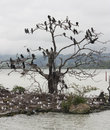 Birds nesting shags and seagulls in a tree on lake rotorua new zealand Stock Image