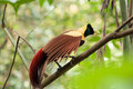 Birds of paradise lay on a stick Stock Images