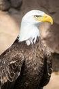 Birds of Prey - Bald Eagle Royalty Free Stock Photo
