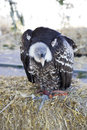 Birds of prey, vulture Stock Images