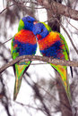 Birds, Rainbow lorikeets Stock Images