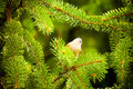Birds resting on the branch wren sits a pine Royalty Free Stock Photography