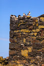 Birds roosting puffins on the farne islands northumberland in north east england Stock Photos