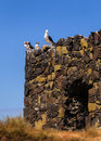 Birds roosting puffins with a seagull on the farne islands northumberland in north east england Royalty Free Stock Images