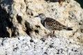 Birds ruddy turnstone wading Στοκ Φωτογραφίες