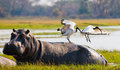 Birds are sitting on the back of a hippopotamus. Botswana. Okavango Delta. Royalty Free Stock Photo