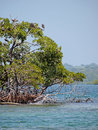 Birds in small mangrove island bocas del toro Royalty Free Stock Photo
