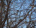 Birds sparrows frisky play in the tree crown strongly chirp looking for food sunny day gives a beautiful picture Stock Photos