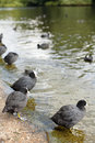 Birds in st james s park beautiful water london Royalty Free Stock Photo