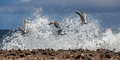 Birds in the waves north coast of curacao playa kanao or surf beach caribbean Stock Images