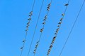 Birds on wires many indian mynes a Stock Photo