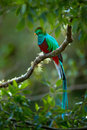 Birdwatching in America. Exotic bird with long tail. Resplendent Quetzal, Pharomachrus mocinno, magnificent sacred green bird from