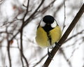Birdy great tit sitting on a branch in snowy forest Stock Photo