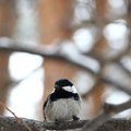Birdy grey tit perched on a branch in snowy forest Royalty Free Stock Photos