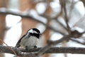 Birdy grey tit perched on a branch in snowy forest Royalty Free Stock Images