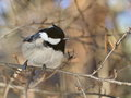 Birdy marsh tit perched on a branch Royalty Free Stock Images