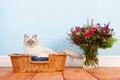 Birman cat in basket Royalty Free Stock Photo