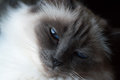 Birman cat close up of a with blue eyes and black and white fur looking wisely into the camera Stock Image