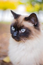 Birman cat portrait of beautiful sacred of burma Royalty Free Stock Photo