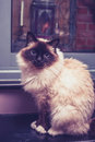 Birman cat sitting by door fluffy is Stock Image
