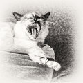 Birman cat yawning on a pillow of the sofa closeup seal tortie point female black and white fine art portrait purebred Royalty Free Stock Images