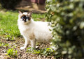 Birmanese cat portrait of a Stock Images