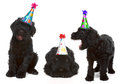 Birthday black russian terriers silly singing dog wearing hats Stock Photos