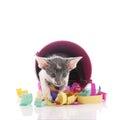 Birthday cat with confetti Royalty Free Stock Photo