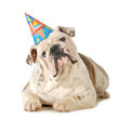 Birthday dog english bulldog wearing hat isolated on white background Stock Photo