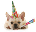 Birthday dog grumpy french bulldog wearing birtdhay hat blowing on horn on white background Stock Photo