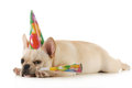 Birthday dog grumpy french bulldog wearing birtdhay hat blowing on horn on white background Stock Photography