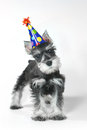 Birthday hat wearing miniature schnauzer puppy dog on white celebrating baby Royalty Free Stock Photography