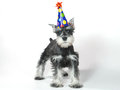 Birthday hat wearing miniature schnauzer puppy dog on white celebrating baby Stock Image